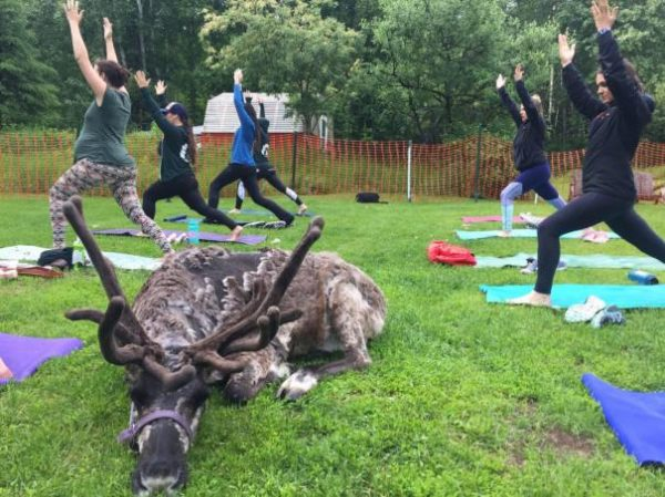 Goat yoga? In Fairbanks, there's a new animal to flow with: reindeer