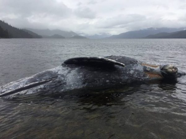 Dead gray whale near Wrangell located and secured