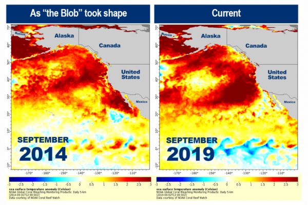 NOAA announces a new marine heatwave is shaping up to look like 'the Blob'