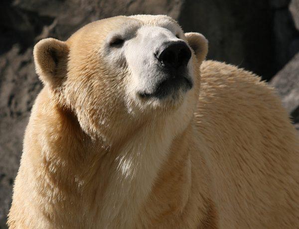 Alaska Zoo's ailing polar bear dies