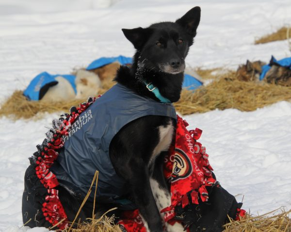 A sled dog sits up with a blanket wrapped around him outside.