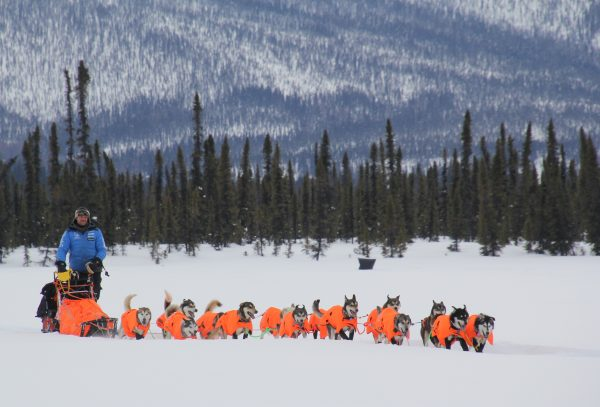 A musher sleds below a spruce tree covered mountain. Dogs are in orange vests