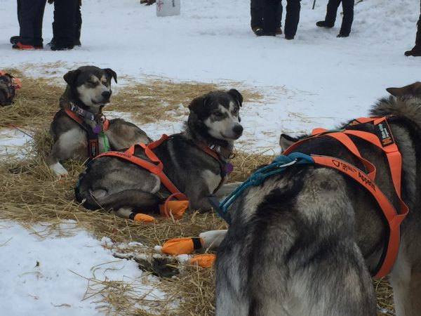 hree black and grey dogs in orange harnesses lie in straw