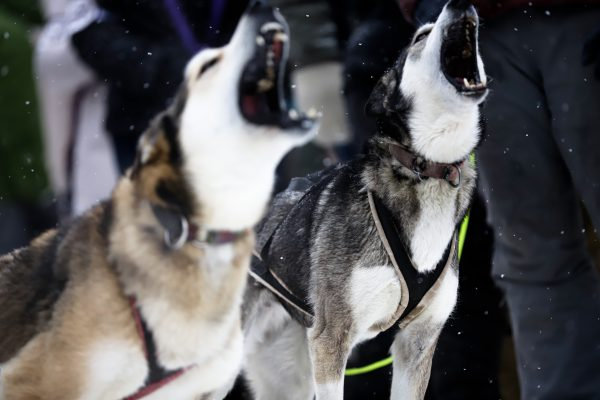 Grey and white sled dogs howl in nblack harnesses