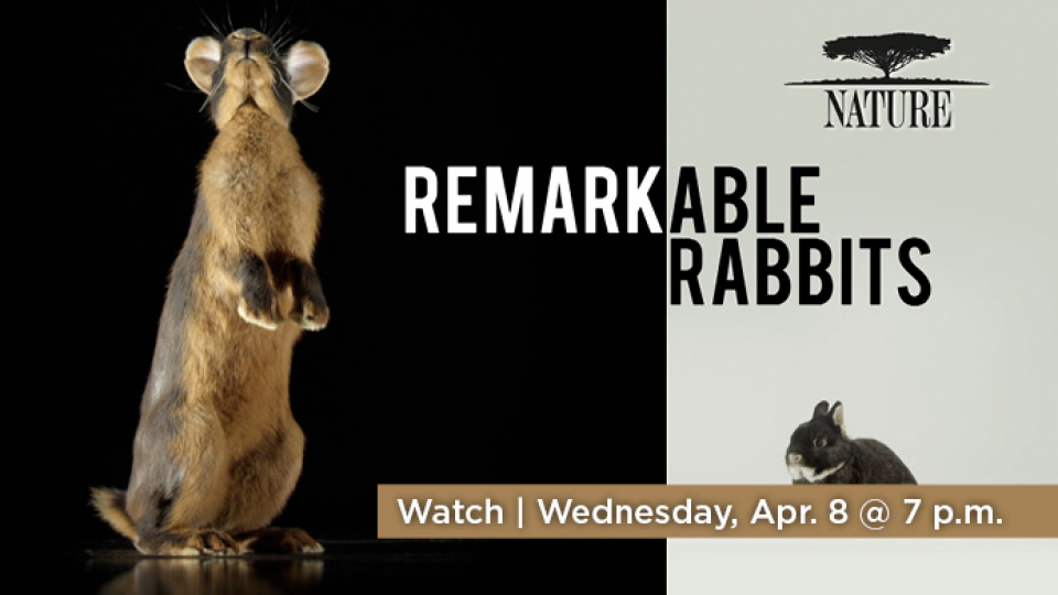 What Nature: Remarkable Rabbits on Wednesday, April 8 at 7 p.m. on Alaska Public Media TV.