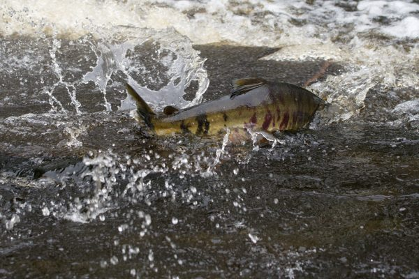 A mottled green and purple salmon swims up the water with most of its back exposed.