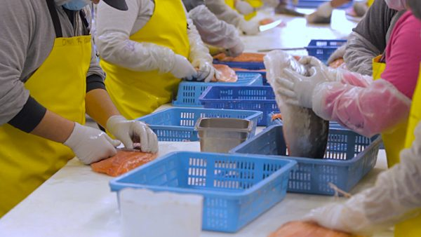 People in gloves and smocks take the bones out of fish.