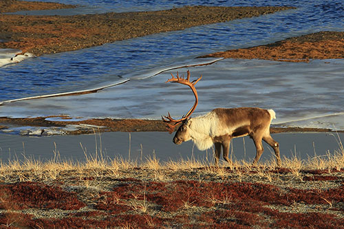 A caribou in a swampy area with pondss in the background