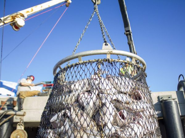 A boom hoists a circular net filled with cod fish.