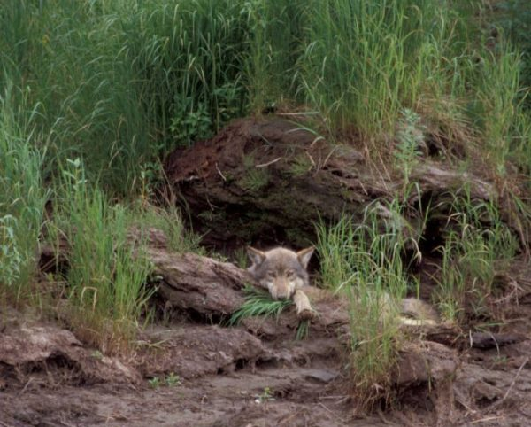 A wolf looks at a camera. It is lying in some dirt and you can only see it's head