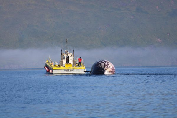 Seen from a distance, a boat pulls a abloated whale that  is half-way submerged in water