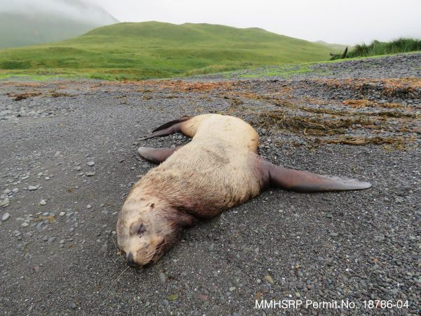 The body of a dead steller sea lion on a beach
