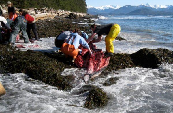Biologists in rain gear cut up a whale on a rock with foamy waves nearby\