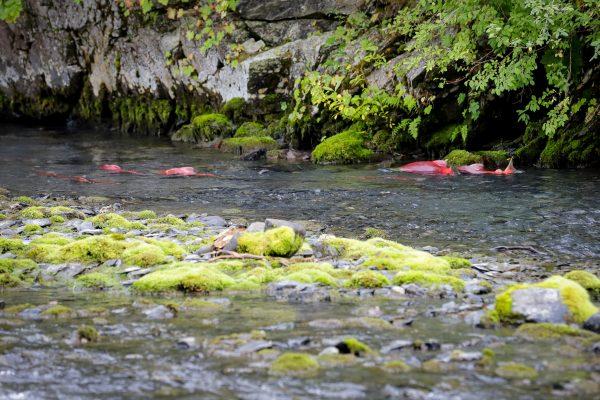 salmon in a creek