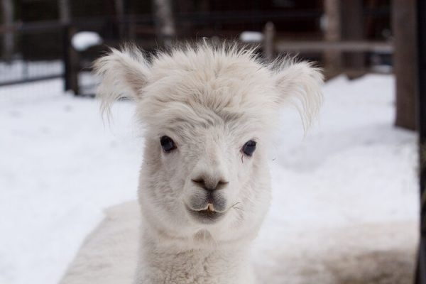 A white, fluffy headed alpaca looks directly into the camera.