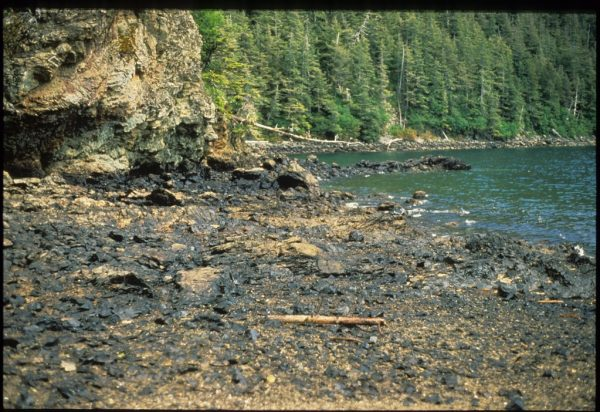 A rocky beach with rocks covered in thick black oil. Spruc trees in bacground.