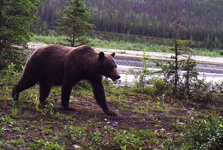 A grizzly bear walks on a river bank