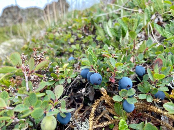 A close of up photo of wild blueberries on the vine