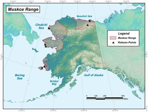 A map of Alaska showing the range of muskoz in three separate areas, the far west and Nunivak Island, the Northwest Arctic, and an area on the east end of the Norht Slope.