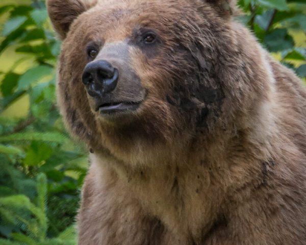 A fat brown bear's bust