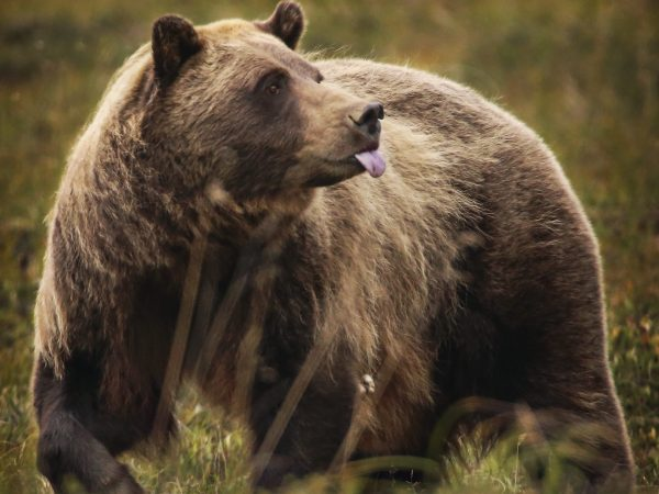 a brown bear with its tongue stuck out