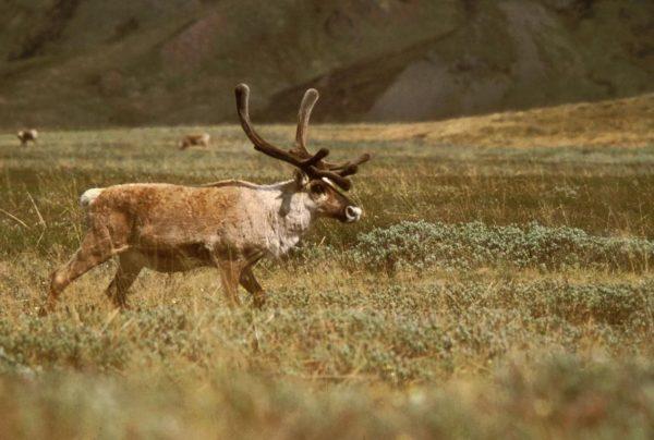 a caribou