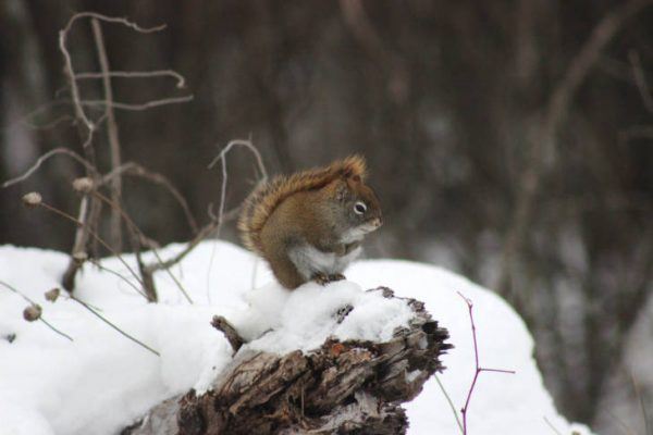 A red squirrel sits on a stump