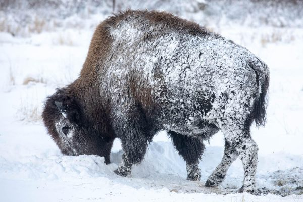 A bison eats from teh snow covered ground