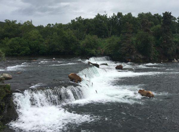 A wide waterfall with bears hunting salmon