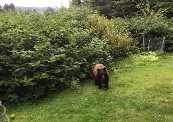 A black bear emerges from a clump of alders into a grassy lawn