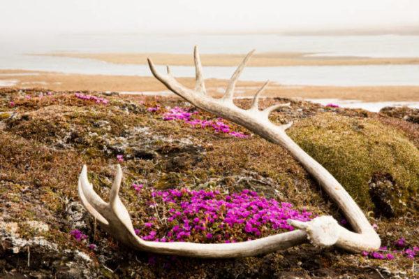 A caribou lying on tundra on purple wildflowers