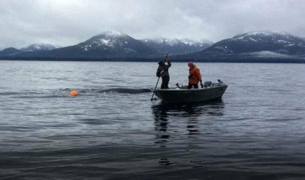 Two peopl on a small skiff help untangle a whale