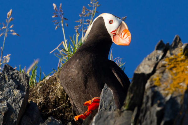 A tufted puffin sits in its burrow on the coastline of the Kodiak National Wildlife Refuge during summer.