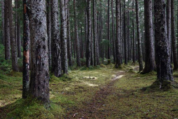 A path leads through a dense forest.