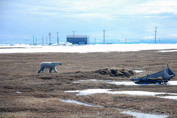 a polar bear walks along the edge of a town. a building in the background and a snowmachine in the foreground
