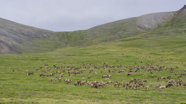a herd of caribouo eat grass in some rolling hills