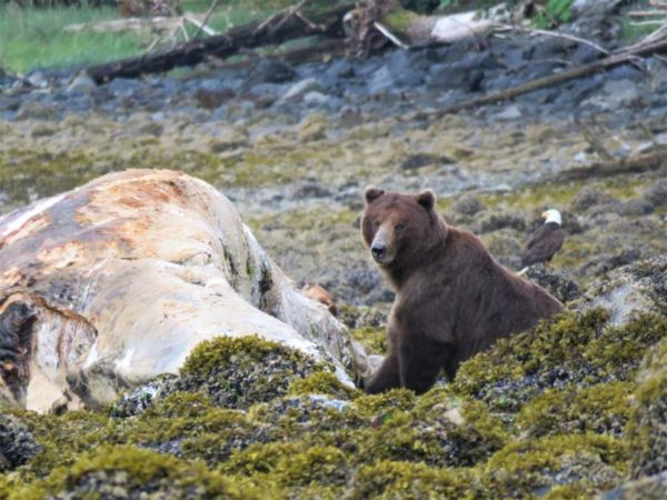 A brown bear at a whale carcass on a seaweedy beech