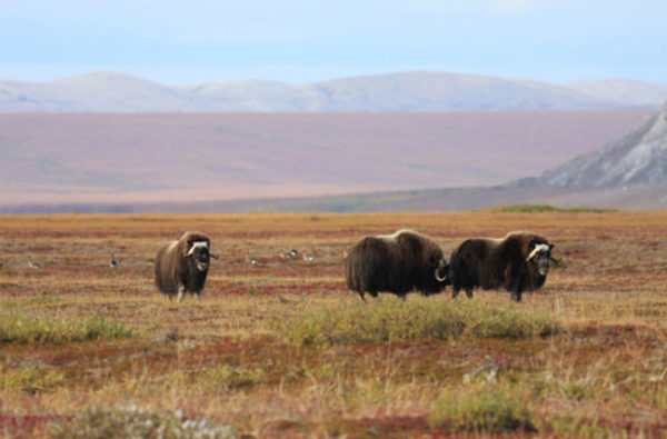 A small heard of musk ox in  field with low mountains around