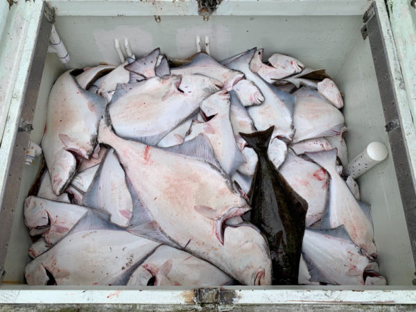 The white underside of halibut lie in a metal tub