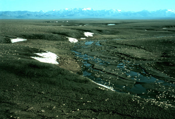 Dozens of caribou cover an expanse of tundra with mountains in the background.