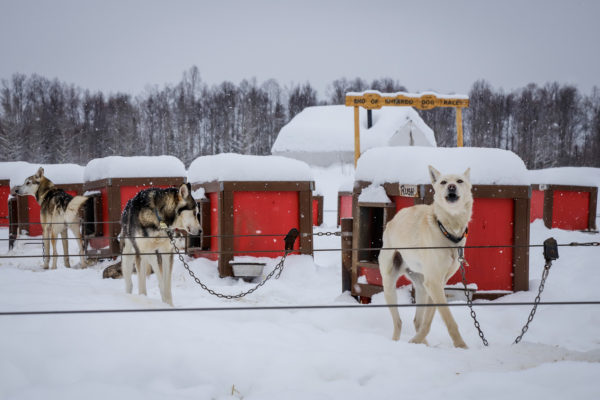 dogs on long chains by their dog houses