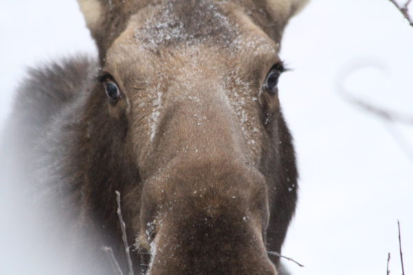 A moose's head