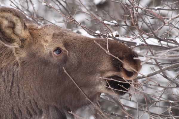 A moose eating branchess