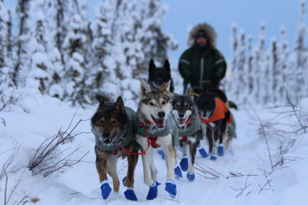A dog team in snowy low sprice trees