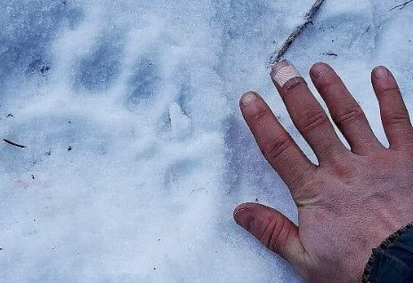 A man's hand next to a bear print in the snow