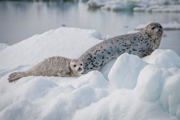 A mom and baby seal on some ice