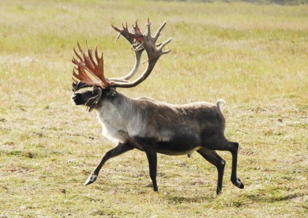 A large bull caribou trots through tundra