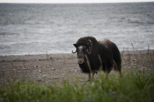 A musk ox walking along the beach