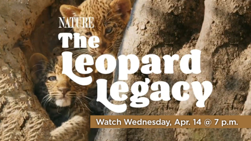 Watch the NATURE: The Leopard Legacy Wednesday, April 14 at 7 p.m. on Alaska Public Media TV.