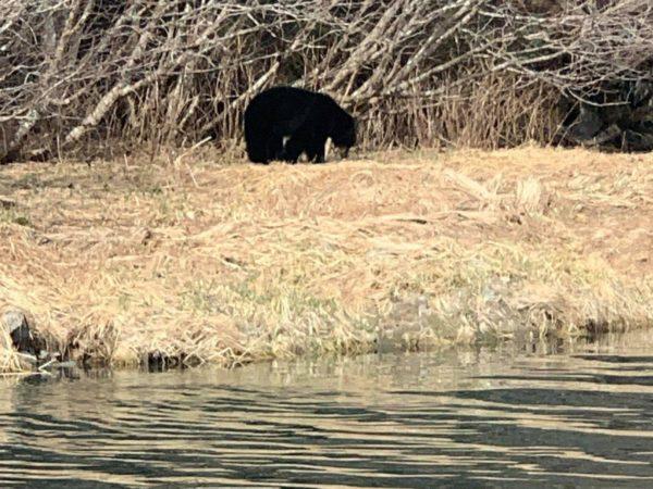 A black bear below some alders on a river bank
